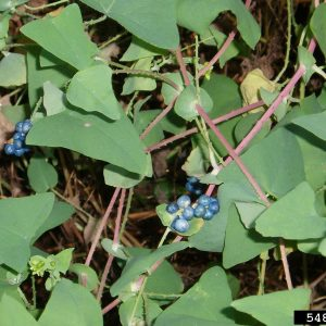 Mile-a-minute Weed  Persicaria Perfoliata)