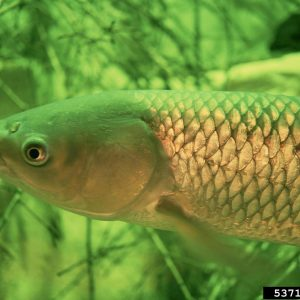 Asian Carp Various Species (Grass Carp Shown)
